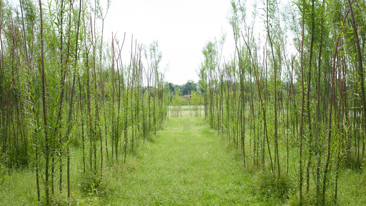 photographie d'une grande allée d'herbe, encadrée par des rangées de saules